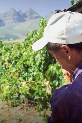 Ernie Els Wines - oogst