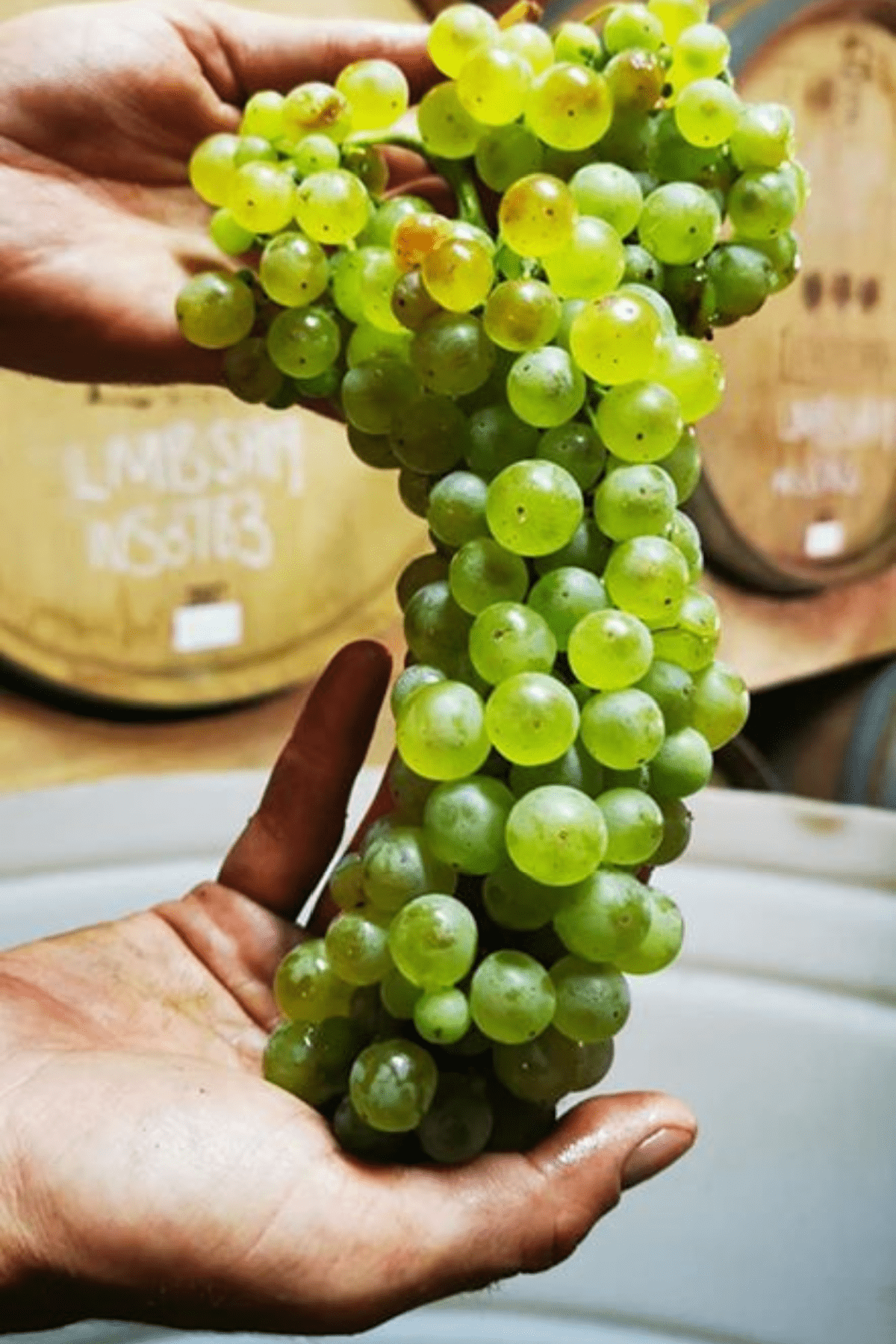 Lemberg Harslevelu tros druiven