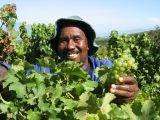 Kaaps Wijnhuis_Zuid Afrikaanse wijnen_ wijnplukker