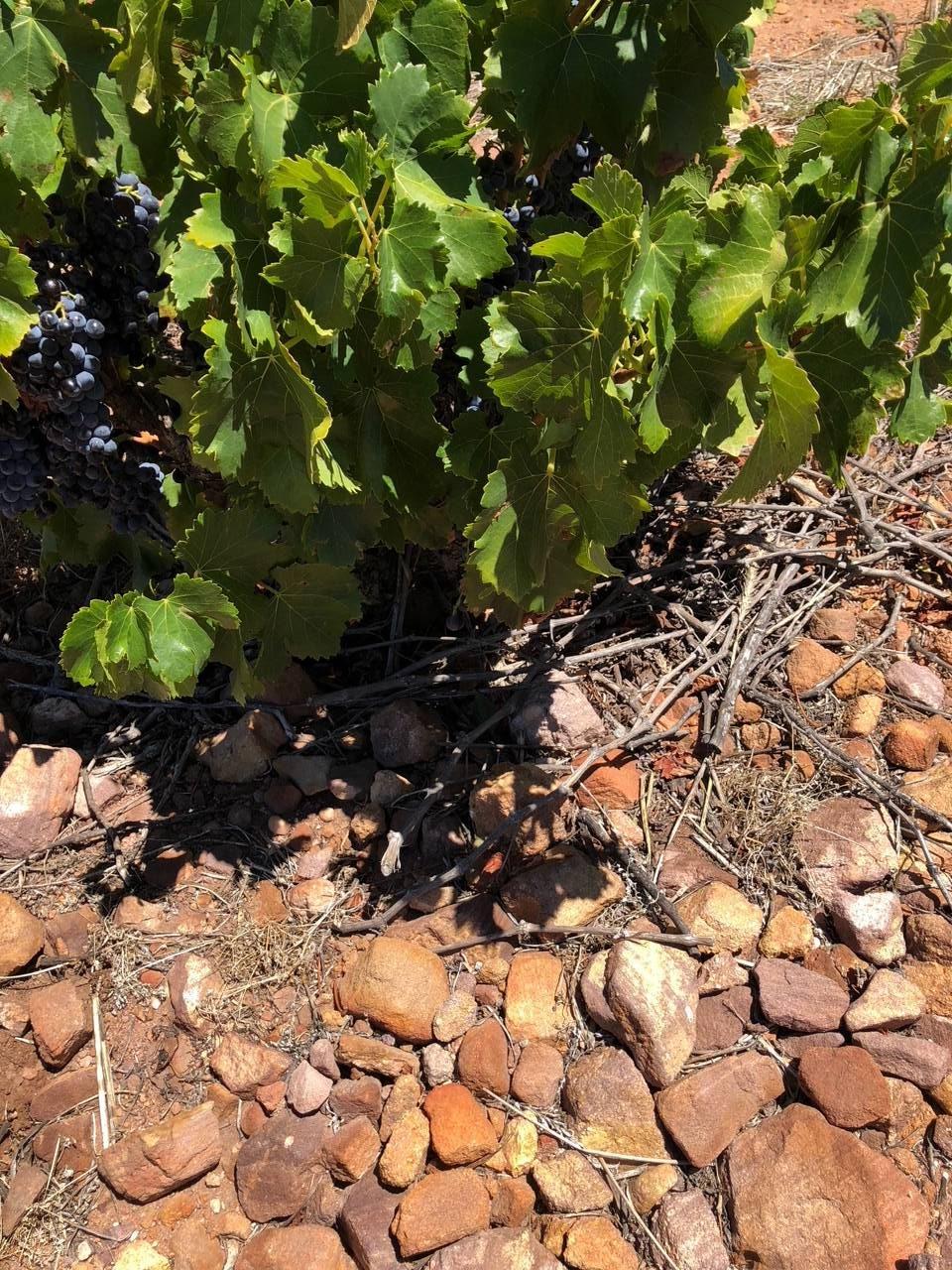 Zuid Afrikaanse wijnen van Marras - bushvines uit Piekenierskloof