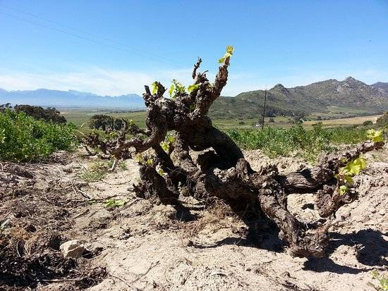 Chenin Blanc Old Bush Vines