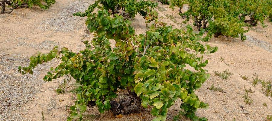 Old Bush Vines wijngaard Roodekrantz , Windmeul